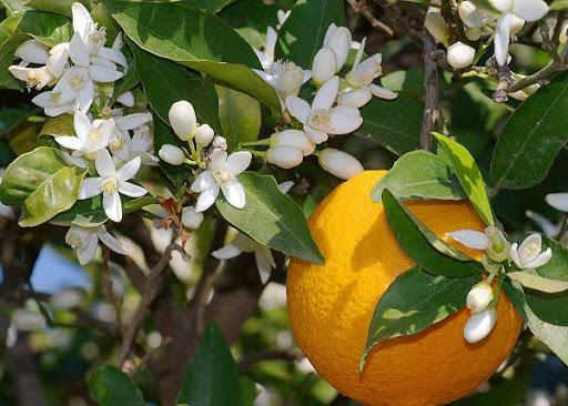 شکوفه های بهار نارنج