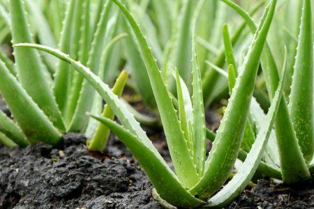 گیاه آلوورا